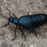 American Oil Beetle
