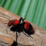 Red Velvet Cow Killer Ant
