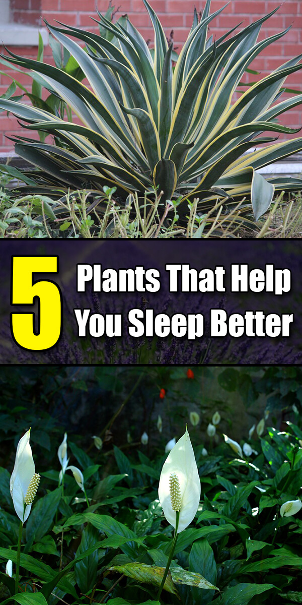 5 Plants That Will Help You Sleep Better - Golly Gee Gardening