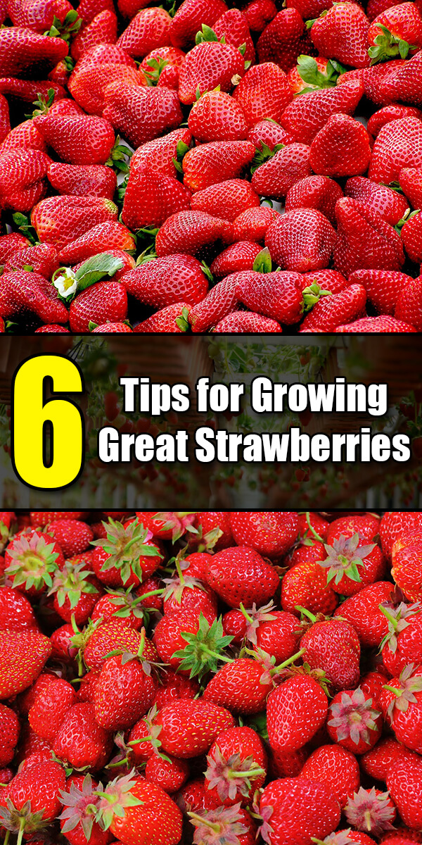 6 Tips for Growing Great Strawberries - Golly Gee Gardening