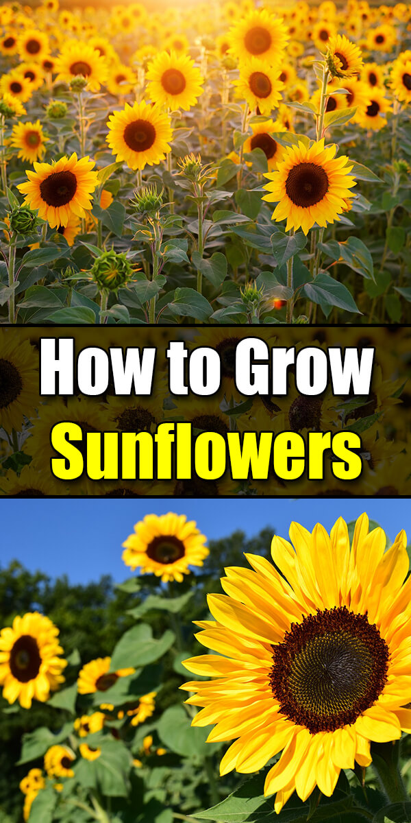 How to Grow Sunflowers, Summer's Favorite Flower - Golly Gee Gardening