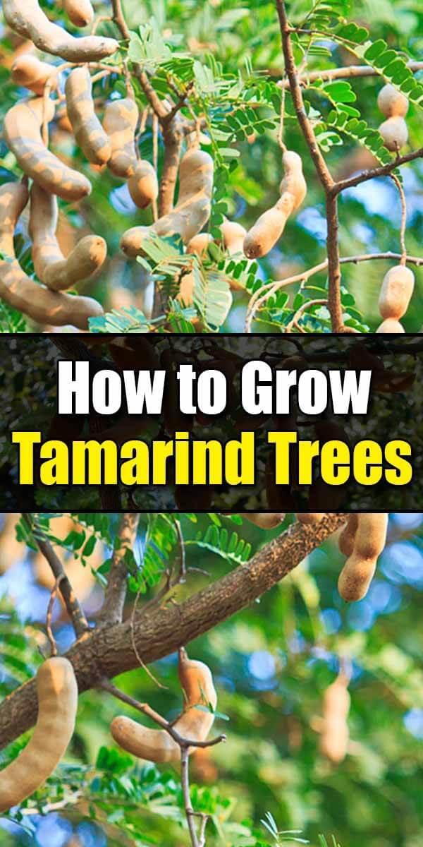 How to Grow Tamarind Trees